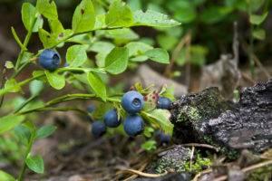 Плоды черники