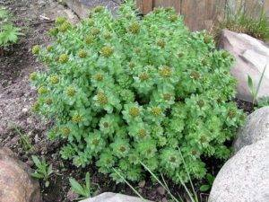 Солянка (растение)описание свойства