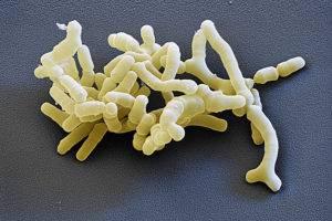 Что такое бифидобактерии