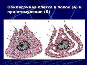 обкладочные клетки