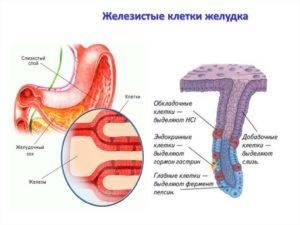 Железистые клетки желудка