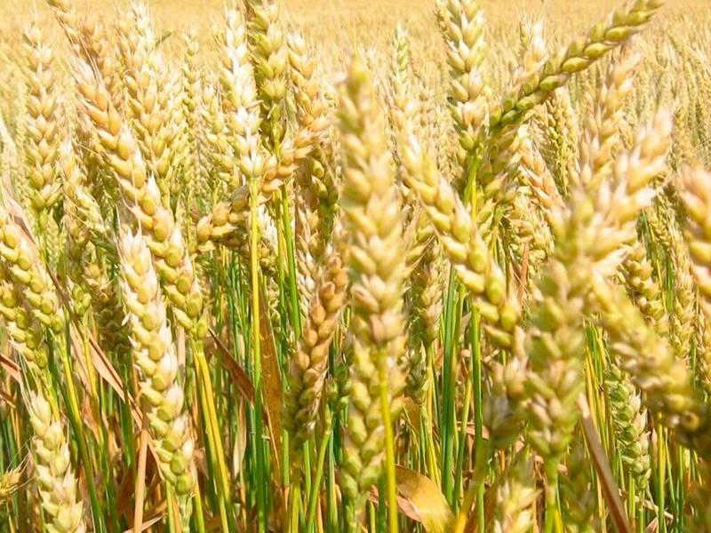 Свойства пшеницы