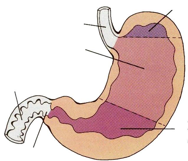 Секреторная функция желудка