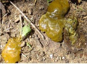Зеленая диарея
