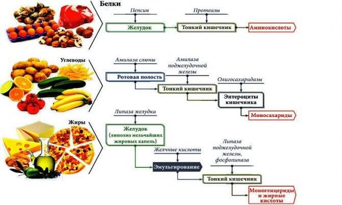 Ферменты пищеварительной системы