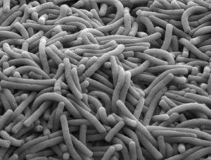 Lactobacillus delbrueckii bulgaricus