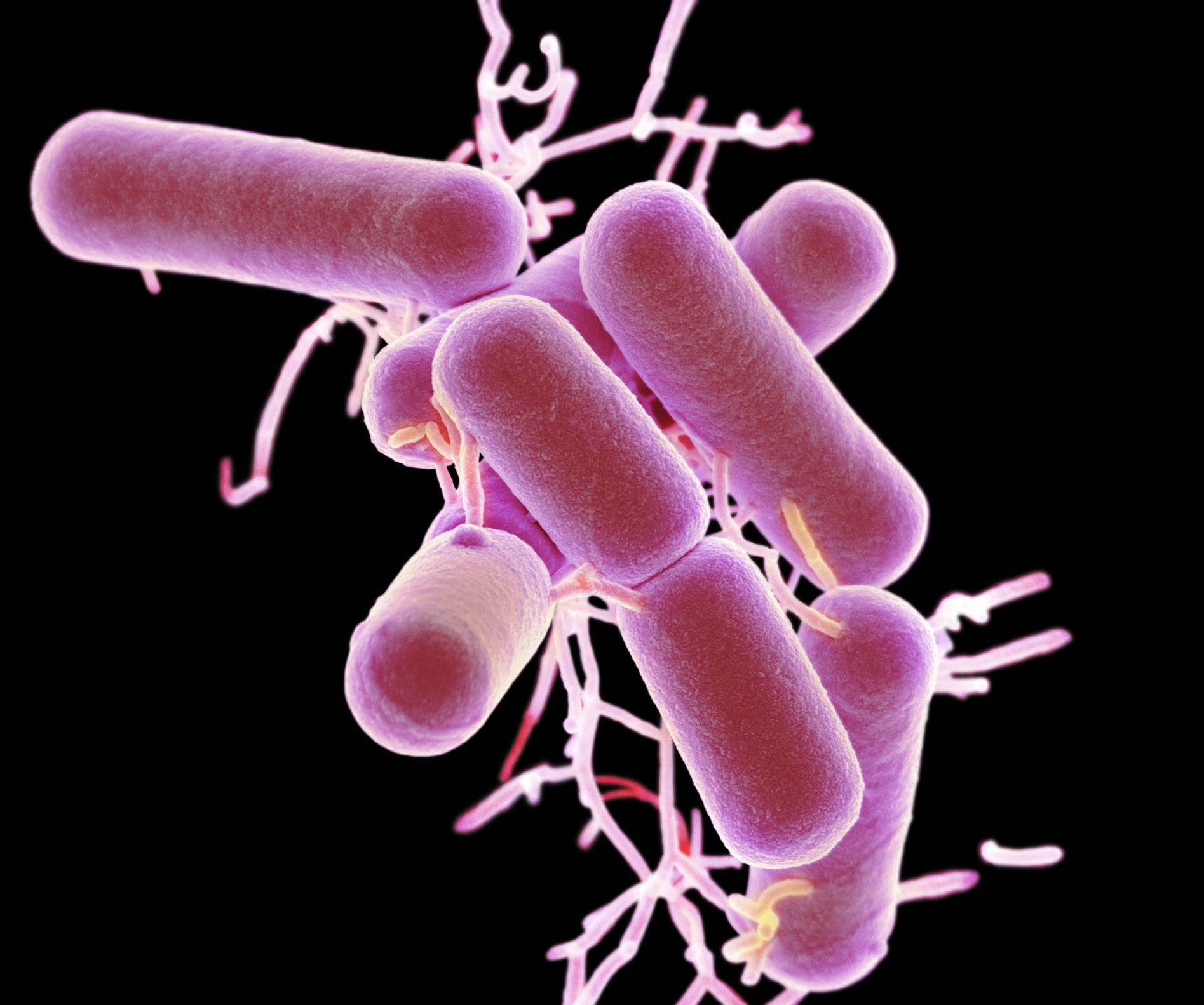 Lactobacillus delbrueckii ssp lactis бактерия
