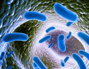Lactobacillus johnsonii бактерии