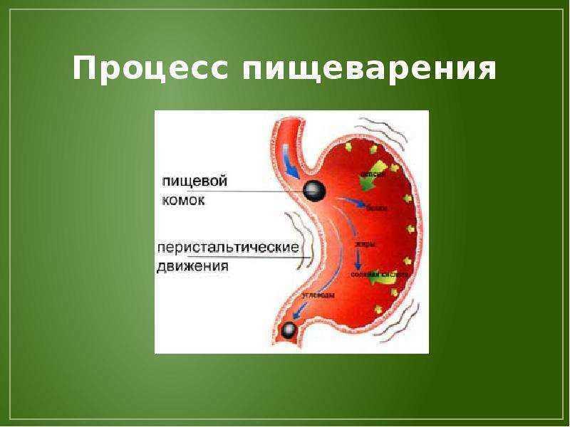 Процесс пищеварения у человека