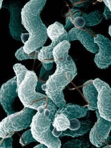 заболеваниекампилобактериоз