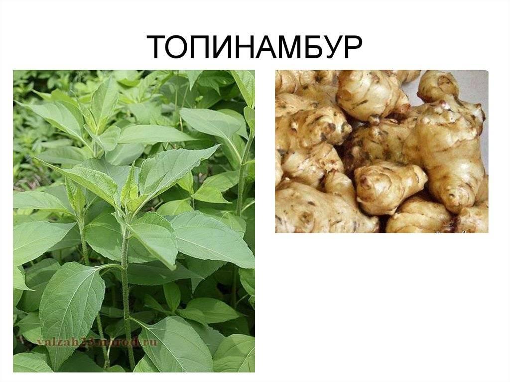 Топинамбур гастрит