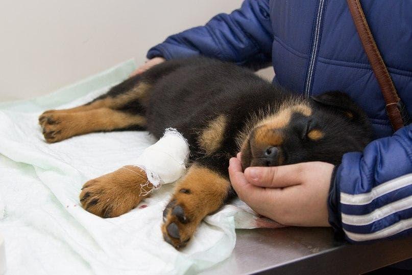 Геморрагический гастроэнтерит у собаки диагностика
