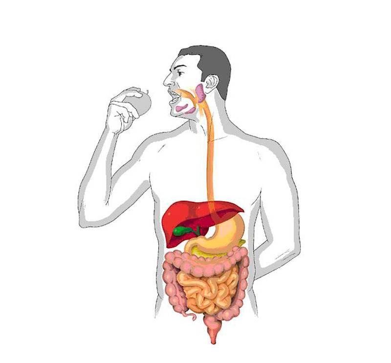 Почему желудок не переваривается