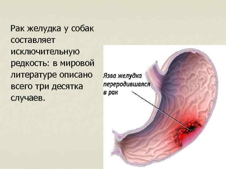 Рак желудка у собак