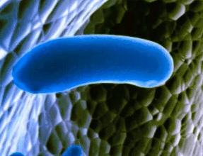 Lactobacillus reuteri - бактерии не патогенного характера