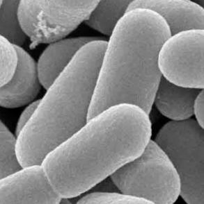 Lactobacillus reuteri характеристика