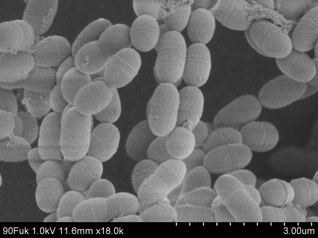 Lactococcus-lactis-harakteristika