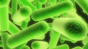 Sporolactobacillus inulinus