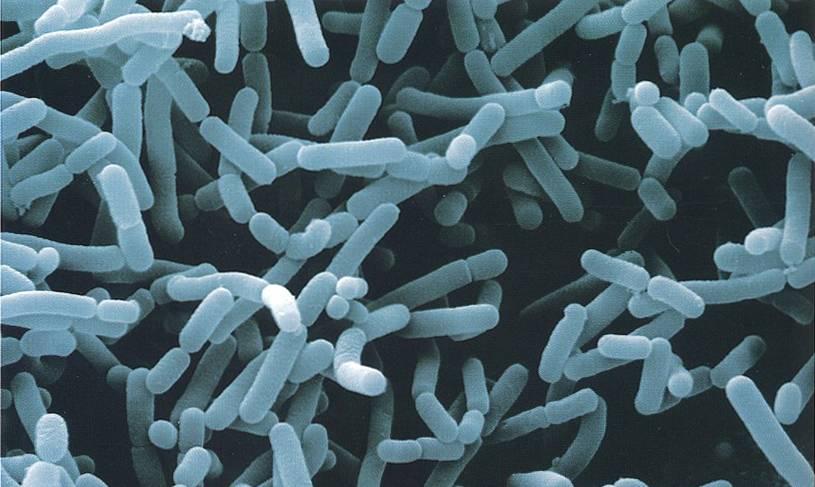 Sporolactobacillus-inulinus