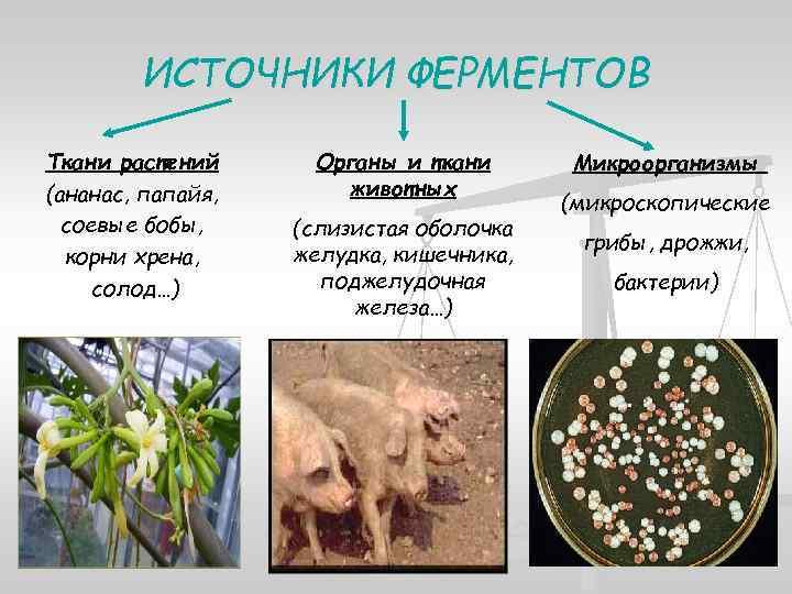 Ферменты животного происхождения