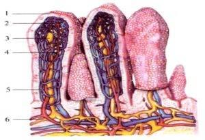 Слизистая оболочка тонкой кишки содержит 10 000-15 000 отдельных лимфатических узелков