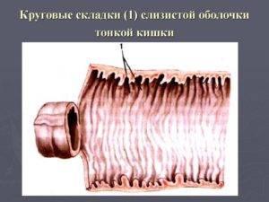 Круглые складки - это производные слизистой и подслизистой оболочки