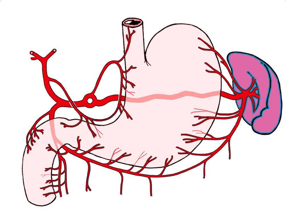 Артериальное кровоснабжение желудка